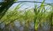 ویدئو/ روش نوین کشت برنج در خوزستان