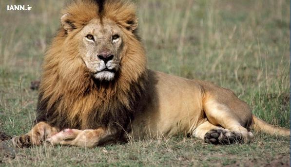 shir_lion