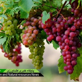 angoor_tak_mow_rez_Grapes