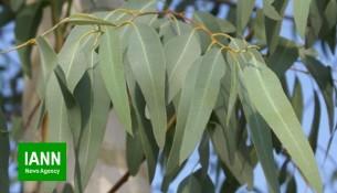 okaliptus_Eucalyptus_ocaliptoos