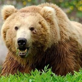 khersghahveei_bear
